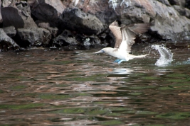 Blue-footed Booby, Galapagos
