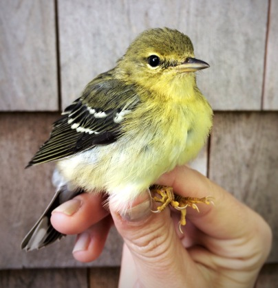 Blackpoll Warbler, Manomet Banding Station, MA