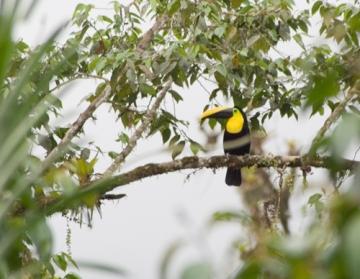 Choco Toucan, Mindo, Ecuador