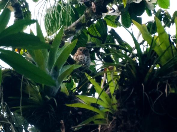 Cuban Pygmy Owl, Topes de Collantes, Cuba