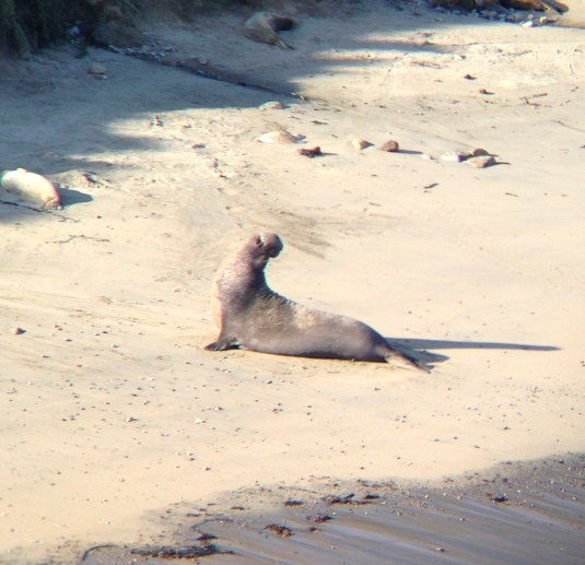 Elephant Seal, Point Reyes, CA