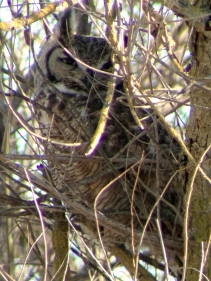 Great-horned Owl, Sacramento River National Wildlife Refuge, CA