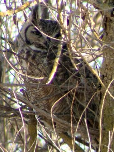 Great-horned Owl, Sacramento River National Wildlife Refuge, CA