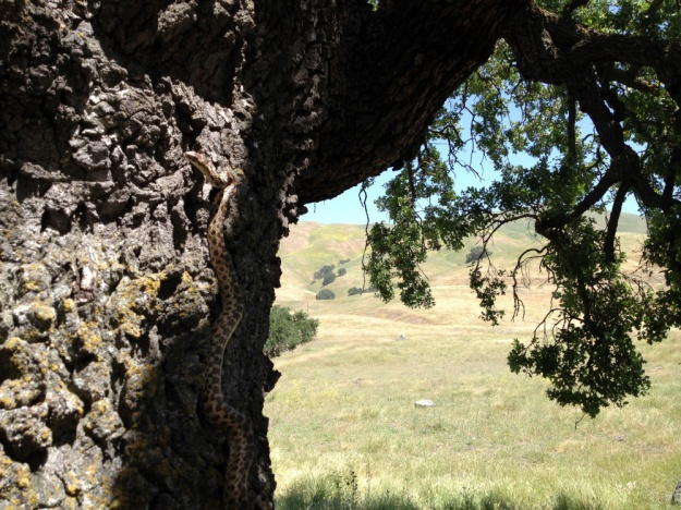 Gopher snake climbing a tree at a field site, CA