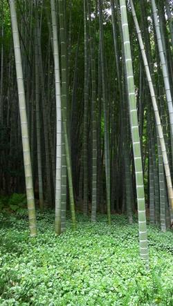 Bamboo forest in Hokokuji, Japan- where I heard the beautiful Japanese Bush Warbler!