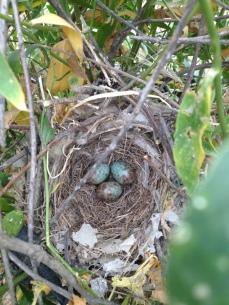 Northern mockingbird nest at field site, CA