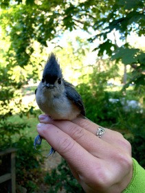 Tufted Titmouse, Manomet Banding Station, MA