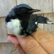 Black-throated Blue Warbler, Manomet Banding Station, MA