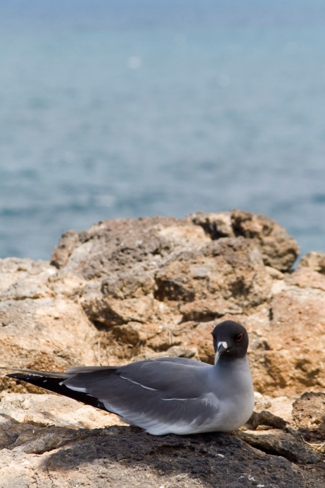 Swallow-tailed Gull, Galapagos, Ecuador