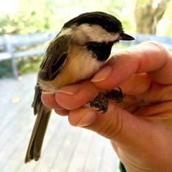 Black-capped Chickadee, Manomet Banding Station, MA