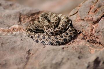 Rattlesnake, Grand Canyon National Park, AZ