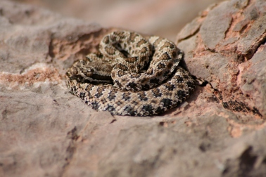 Rattlesnake, Grand Canyon National Park, AZ