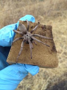 False tarantula in the salamander pitfall trap, CA