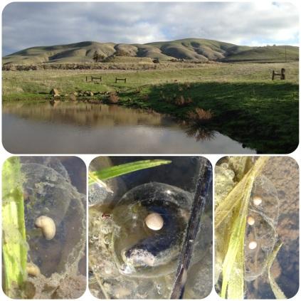 California tiger salamander eggs and breeding pond, CA