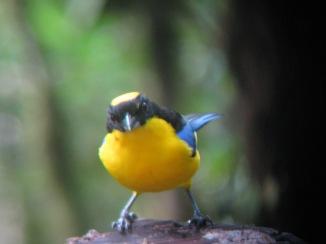 Blue-winged Mountain Tanager, Mindo, Ecuador