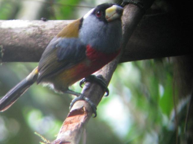 Toucan Barbet, Mindo, Ecuador