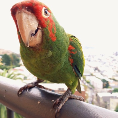 Red-masked Parakeet (or one of the Parrots of Telegraph Hill), San Francisco, CA
