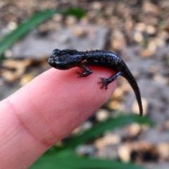 Young-of-the-year arboreal salamander, CA