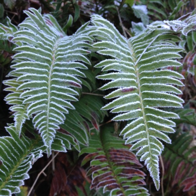 Frost on ferns in the Pacific Northwest, OR