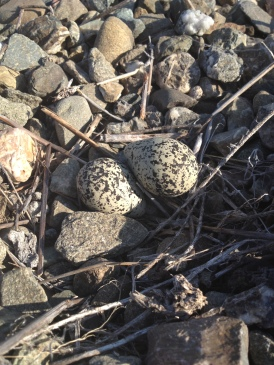 Killdeer nest, CA