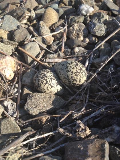 Killdeer nest, CA