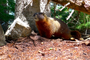 Yellow-bellied marmot, WY