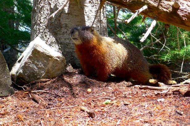 Yellow-bellied marmot, WY