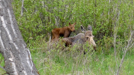 Moose and calf, WY