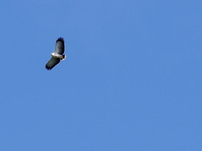 White Hawk, Trinidad