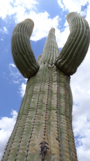 Saguaro National Park, NM