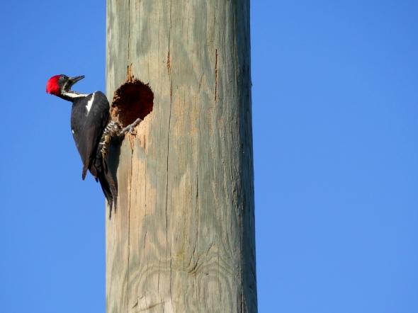Lineated Woodpecker in Carli Bay, Trinidad
