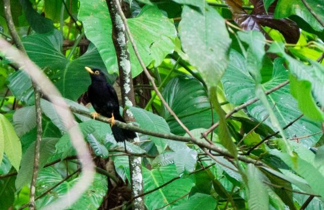 Yellow-legged Thrush, Gilpin Trail Main Ridge, Tobago