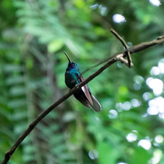White-tailed Saberwing, Gilpin Trail Main Ridge, Tobago
