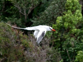 Red-billed Tropicbird, Little Tobago, Trinidad and Tobago