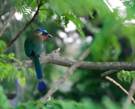 Trinidad Motmot, Charlotteville, Tobago