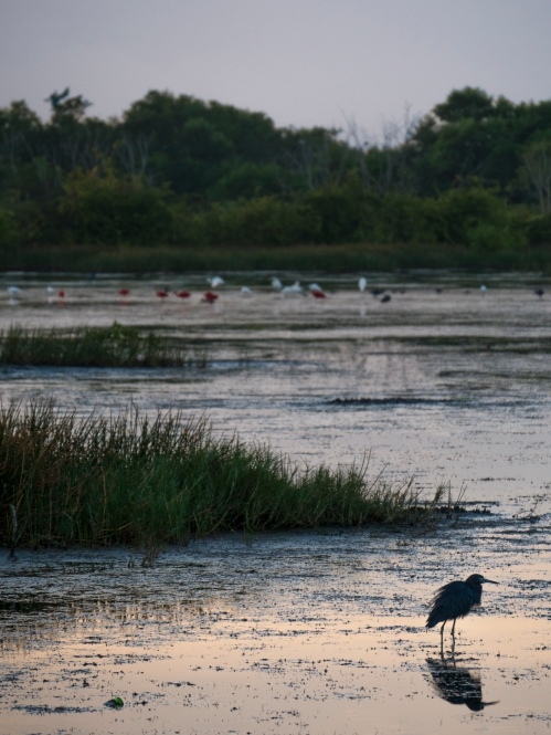 Little Blue Heron with mixed species flock, Caroni Rice Fields, Trinidad