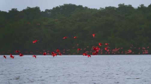 Scarlet Ibis, Caroni Swamp, Trinidad