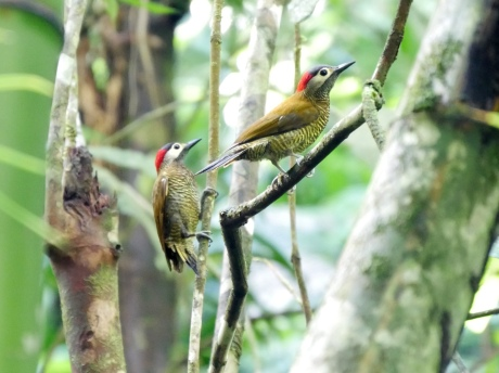 Golden-olive Woodpeckers, Gilpin Trail Main Ridge, Tobago