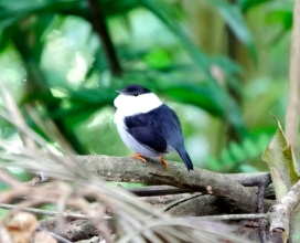 White-headed Manakin, Asa Wright Nature Center, Trinidad