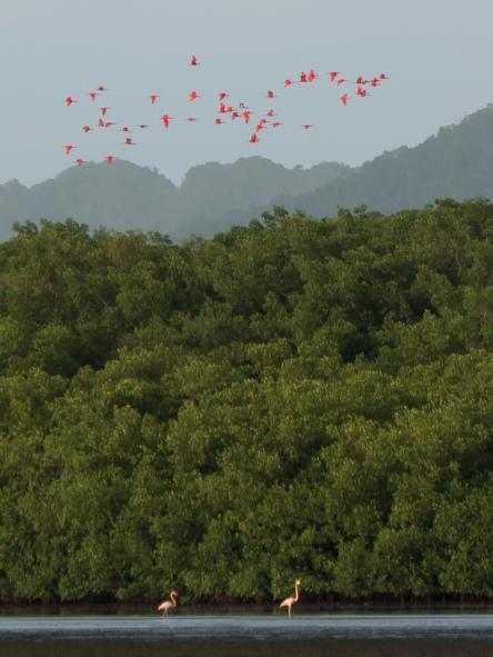 American Flamingo and Scarlet Ibis, Caroni Swamp, Trinidad