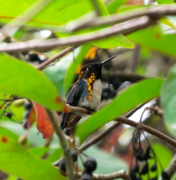 Cuban Bee Hummingbird, Zapata, Cuba