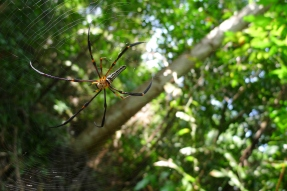 Golden orb-weaver doing some mist netting of its own, Pulau Ubin, SIngapore