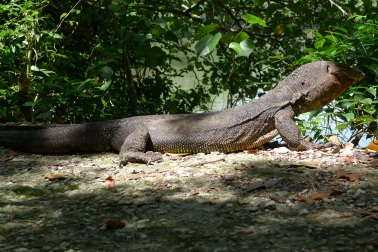 Monitor lizard, Suneigh Buloh, Singapore