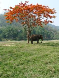 Asian elephant in Chiang Mai, Thailand