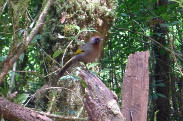 Chestnut-crowned Laughingthrush, Thailand