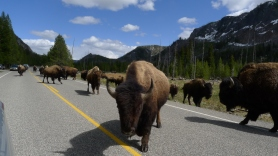 American bison at Yellowstone National Park, WY