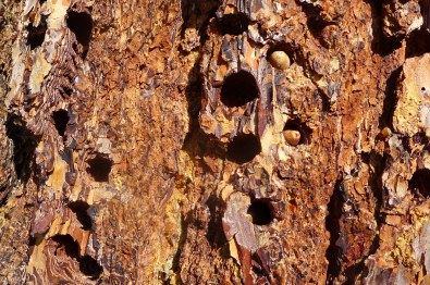 Acorn Woodpecker cache at Pinnacles National Park, CA