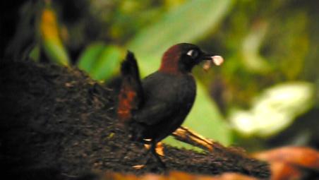 Rufous-breasted Antthrush, Mindo, Ecuador