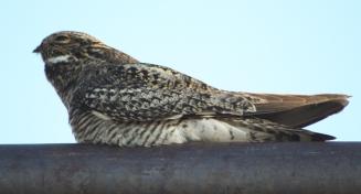 Common Nighthawk, Jeffery City, WY