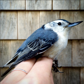 White-breasted Nuthatch, Manomet Banding Station, MA